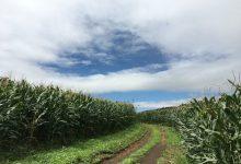 玉蜀黍と青空、こんな風景がお楽しみいただけます