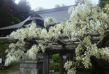 乾徳寺の昇り藤(那珂良し写真館よりご提供)