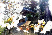 馬頭院の桜と鐘