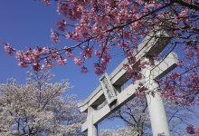 別雷神社と桜